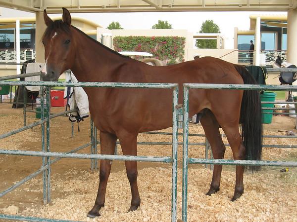 Dubai Endurance Horse Races (and the flooding)