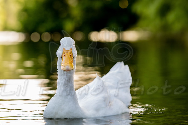 Ducks - Boerne, TX