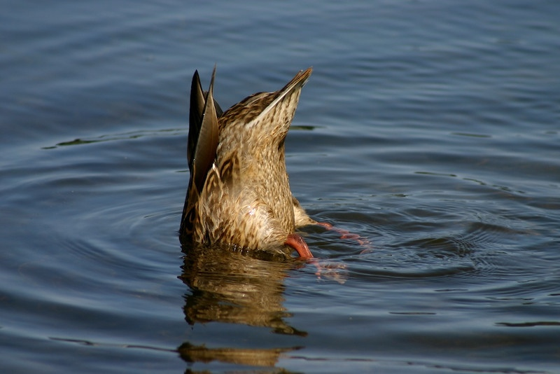 IMAGE: http://macymae.smugmug.com/Animals/Ducks-Cormorants-and-Geese-1/i-r3k3PT4/0/XL/659669457_JyGZu-L-XL.jpg