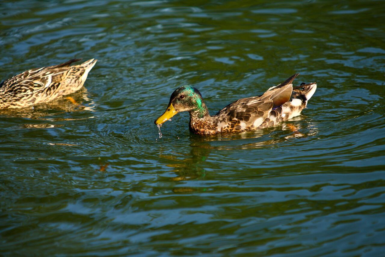 ducks-4
