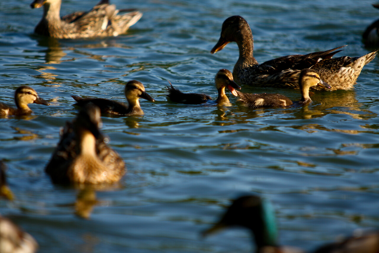 ducks-31