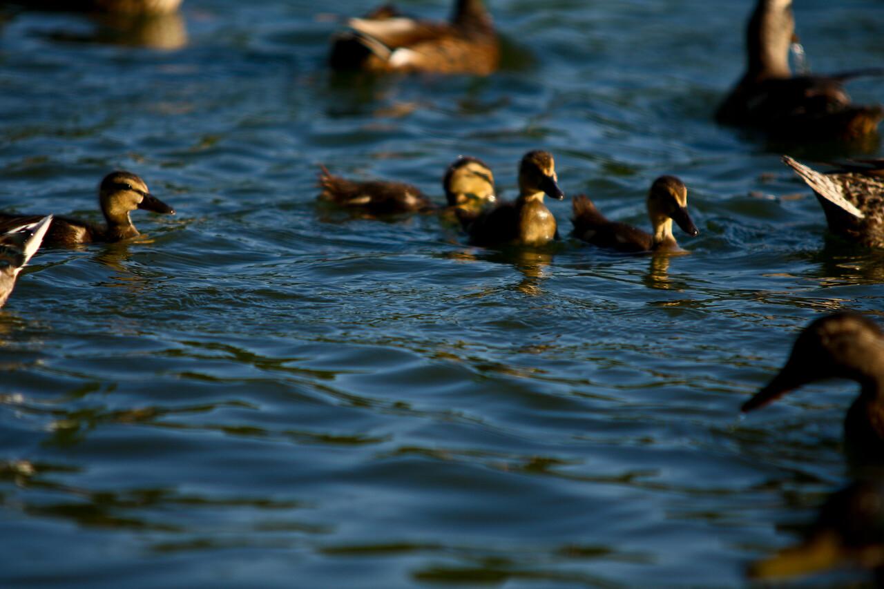ducks-29