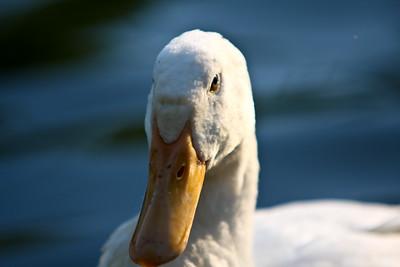 ducks-36