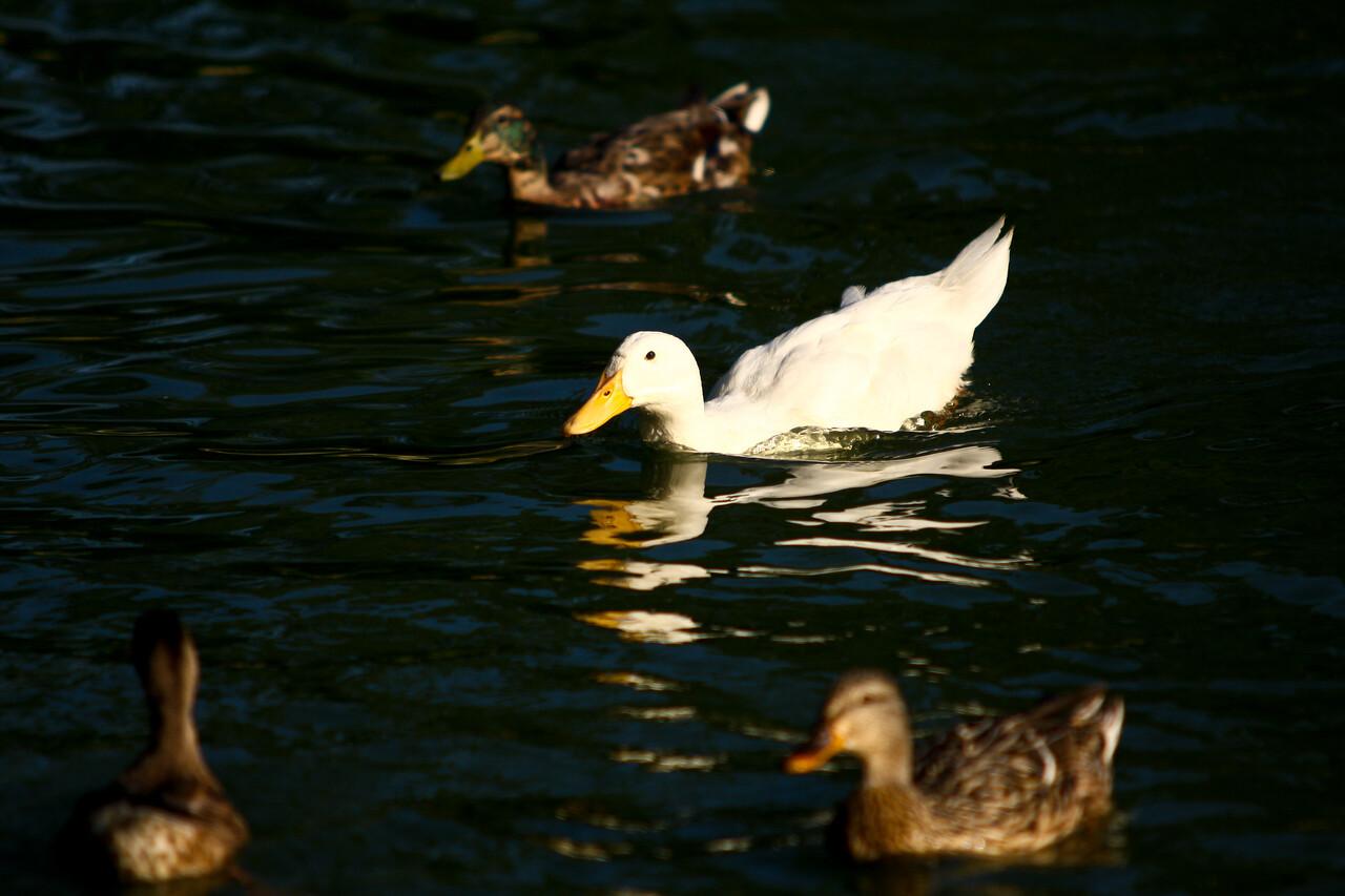 ducks-8
