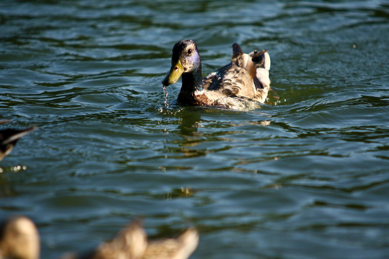 ducks-26