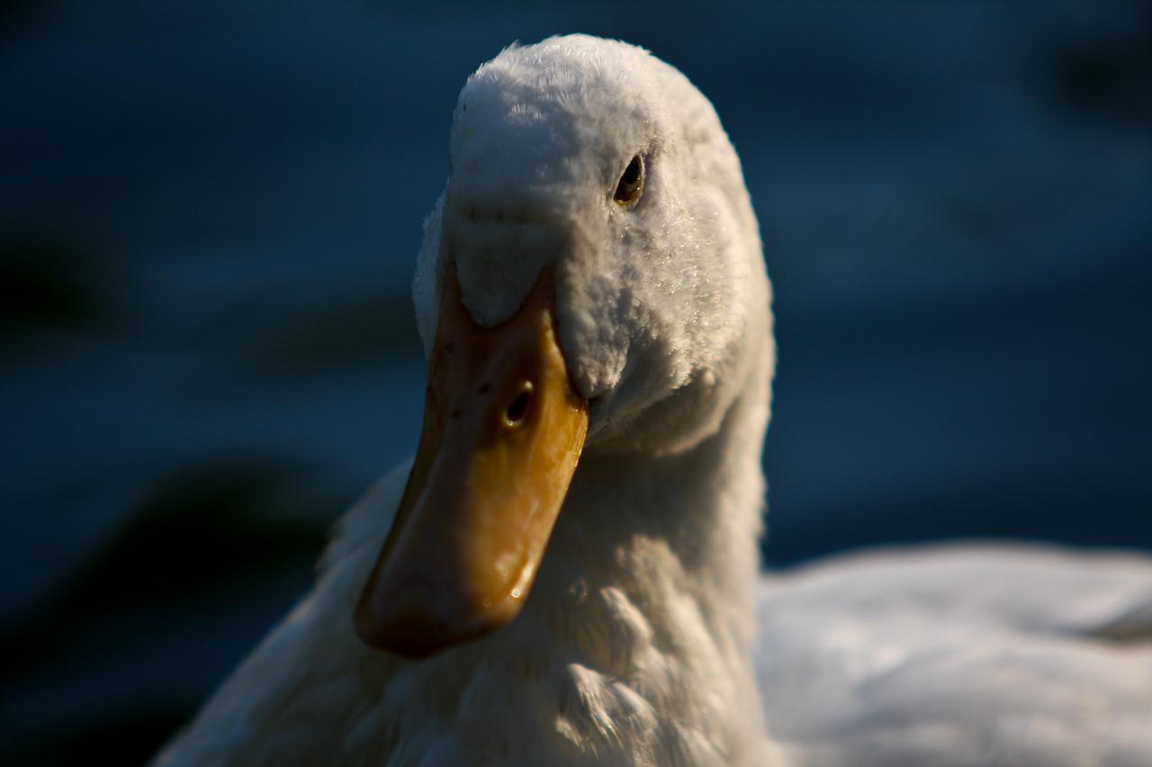 ducks-37