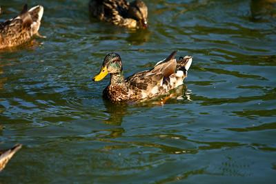 ducks-12