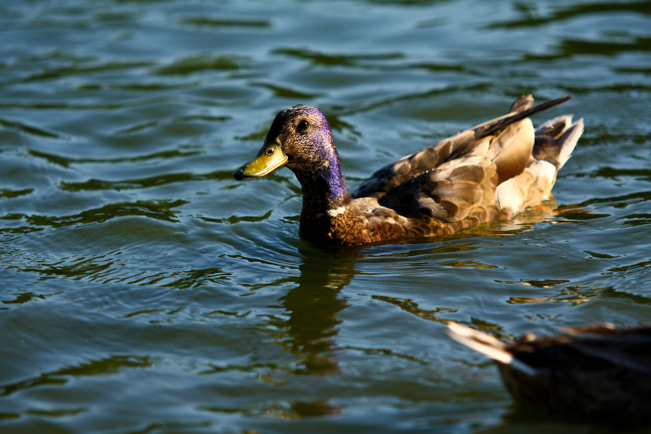 ducks-19