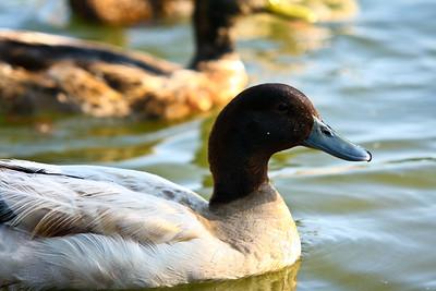 ducks-18