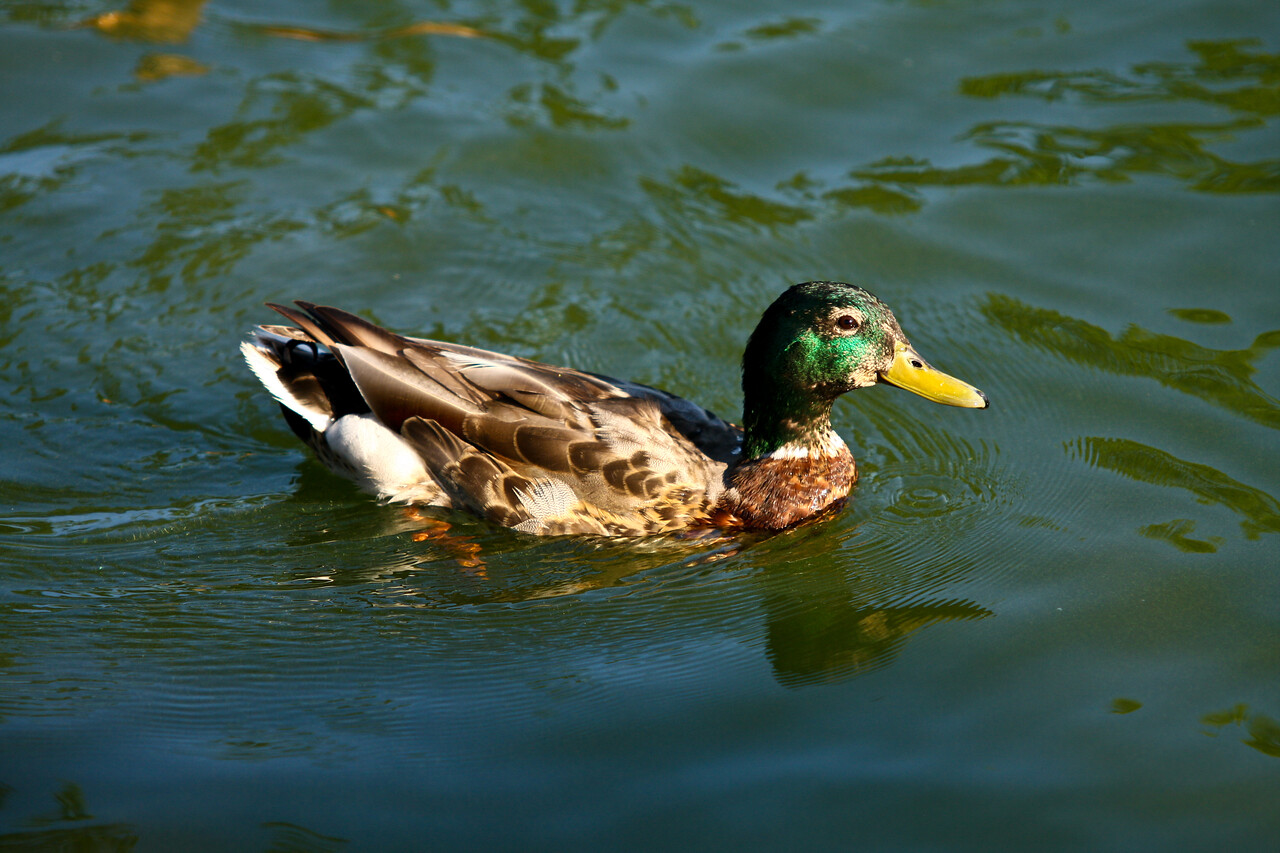 ducks-11