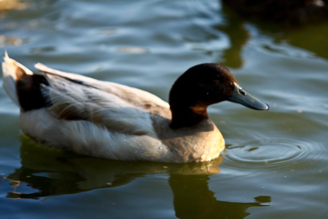 ducks-22
