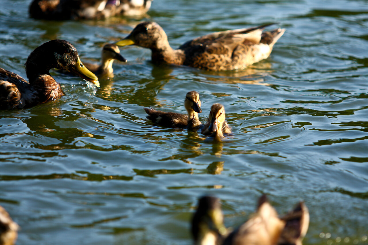 ducks-34