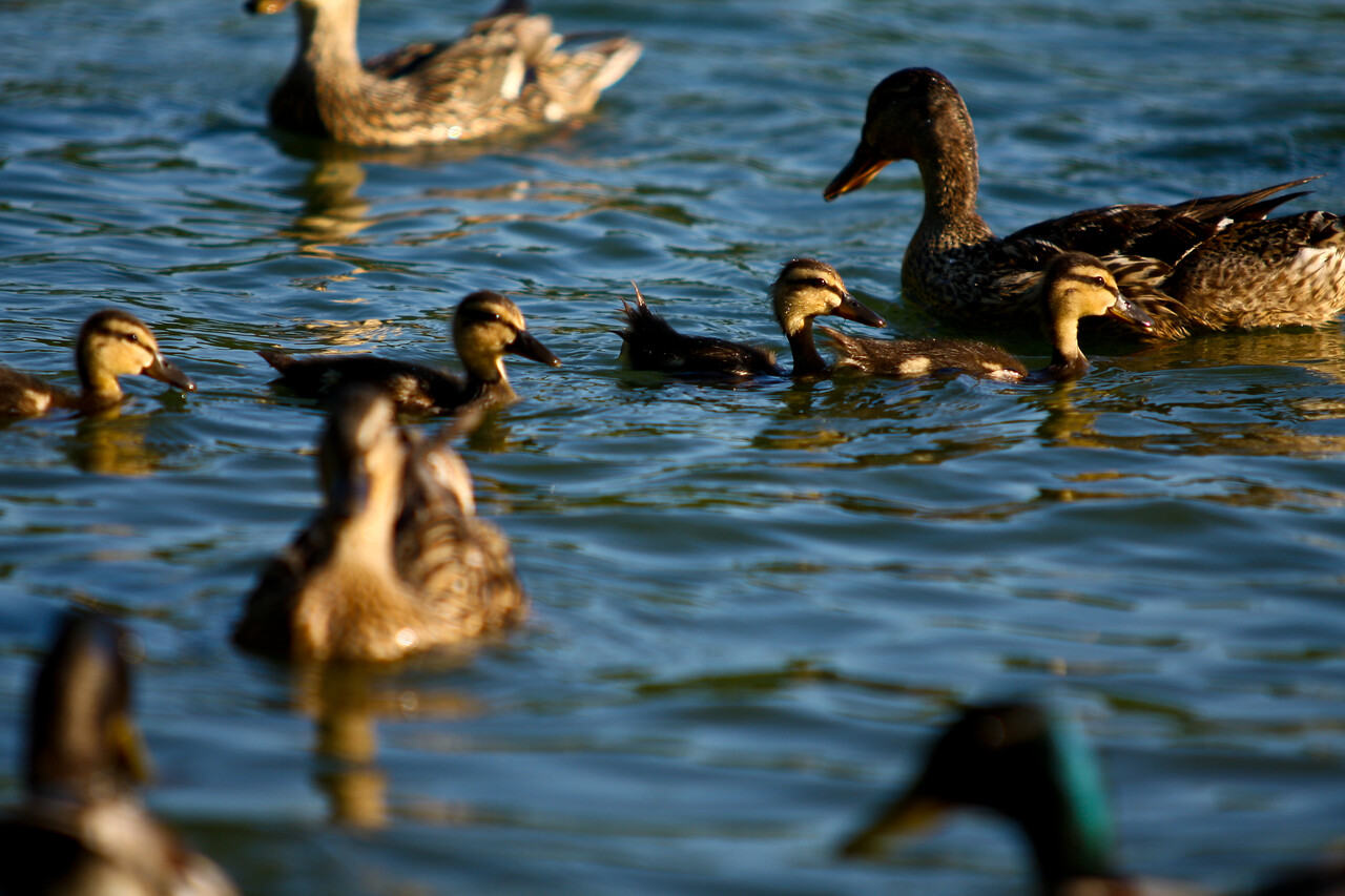 ducks-30