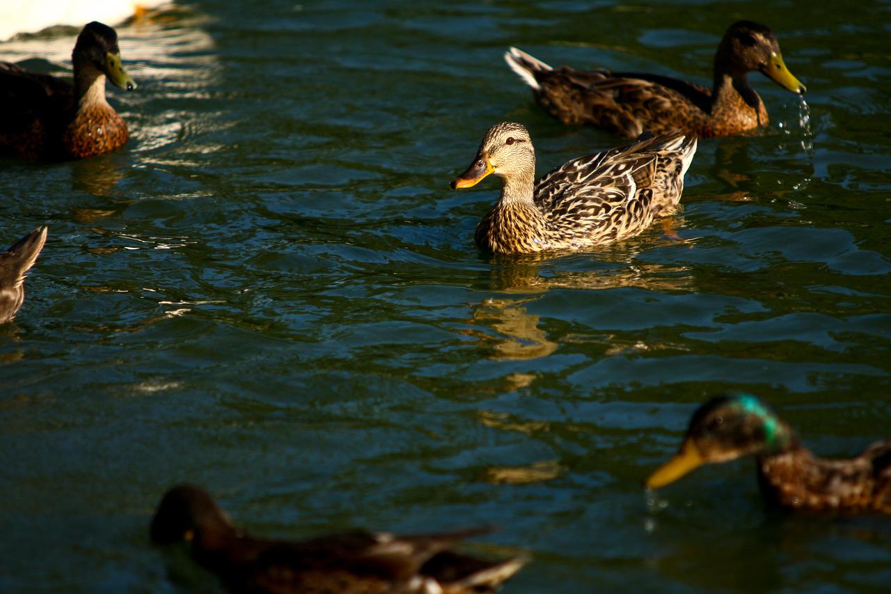 ducks-9