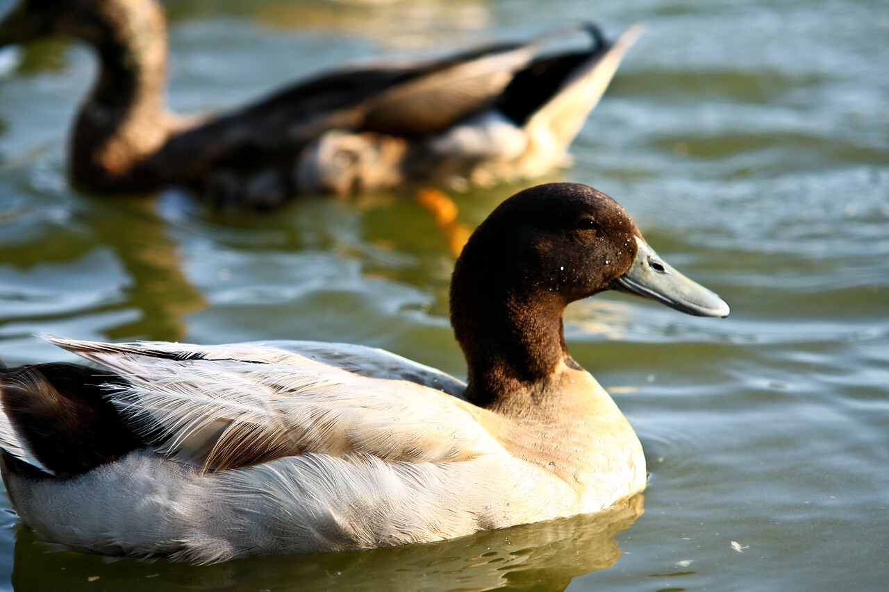 ducks-21