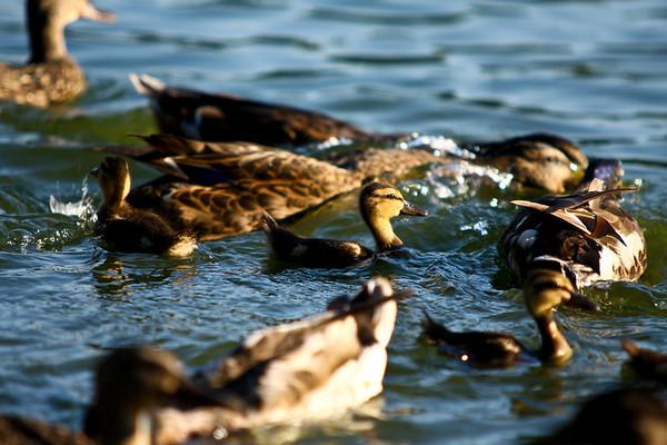 ducks-32