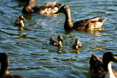 ducks-33