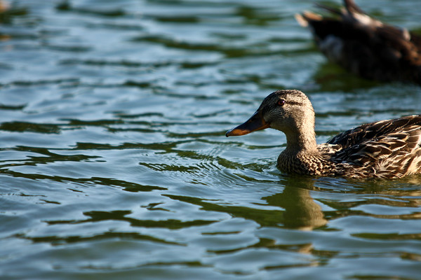 ducks-23