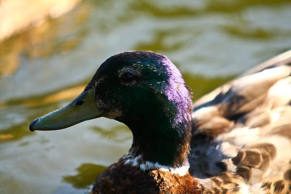 ducks-14