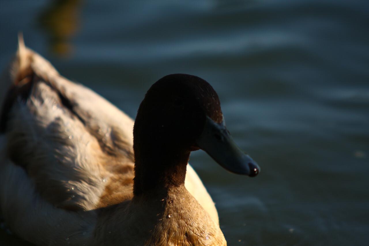 ducks-16