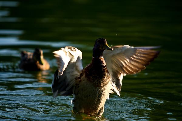 ducks-28