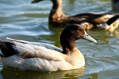 ducks-20