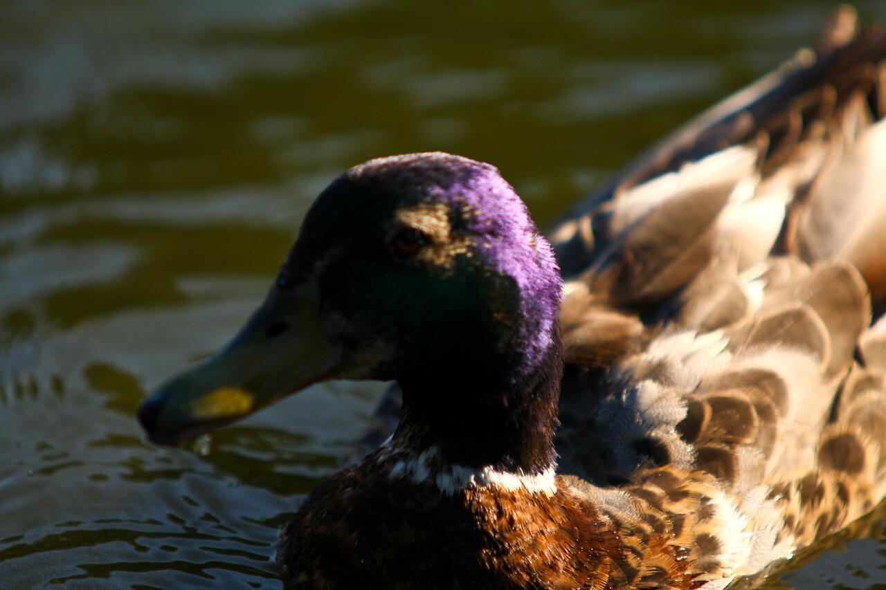 ducks-13