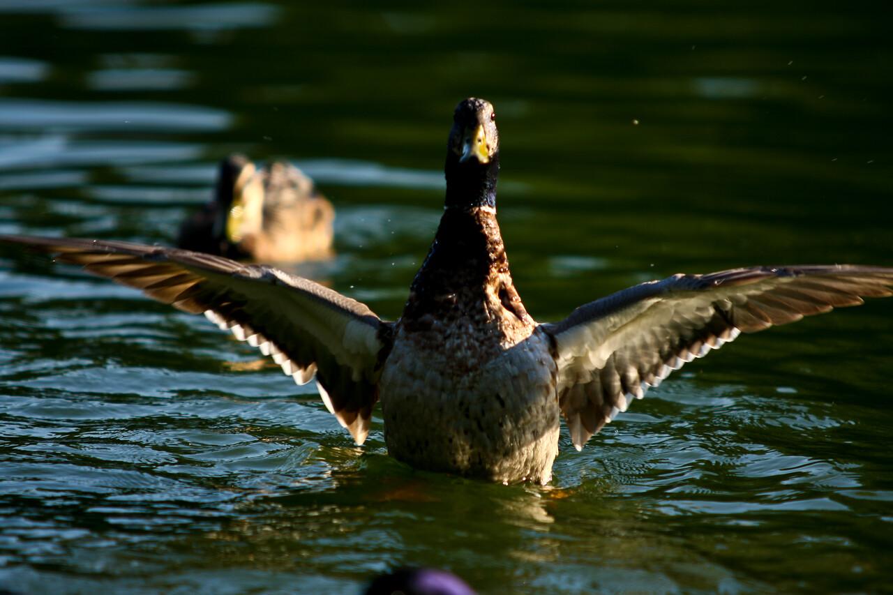 ducks-27