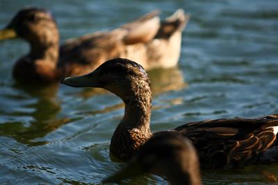 ducks-15
