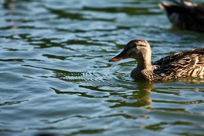 ducks-24
