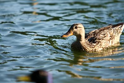 ducks-25