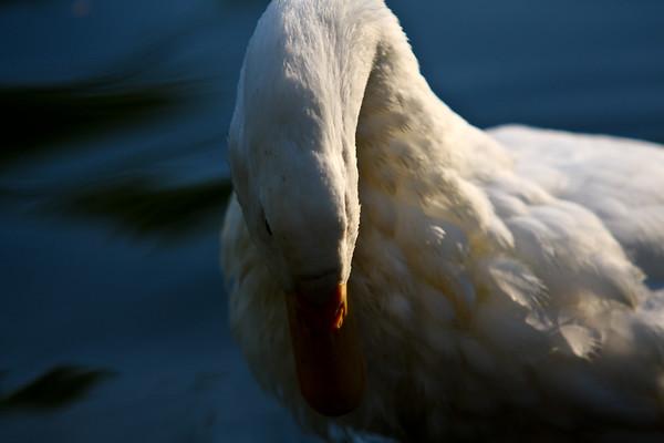 ducks-35