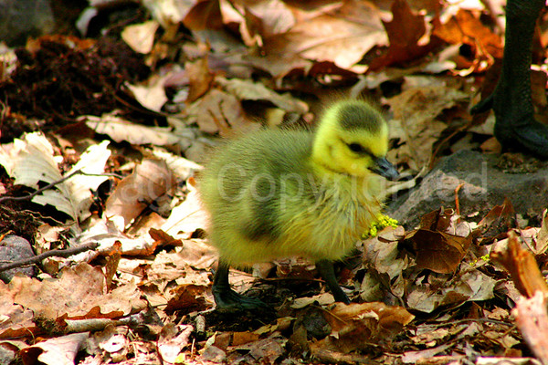 Baby Goose out for Stroll