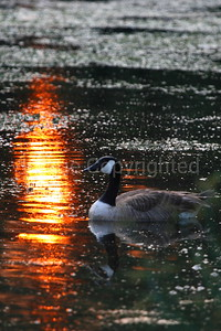 Goose in Reflecting Sun - 8/1/06