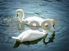 Two swans feeding