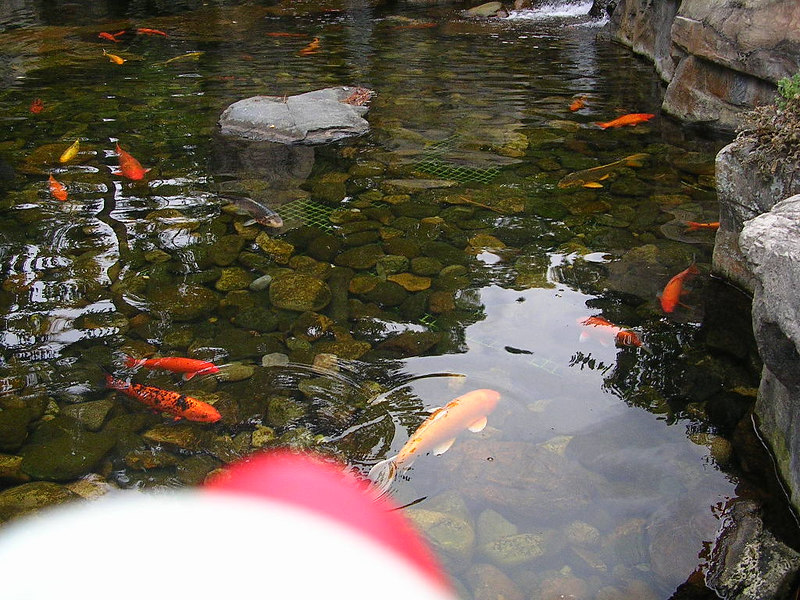 Duck saw a pond in Japan and wanted to go into it.  But there were GIANT goldfish.  He was too scared to say hello to them.