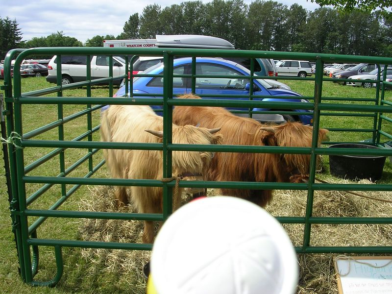 Here's Duck at the Bellingham Highland games looking at two Heiland Coos.  He thinks they're sort of scary.