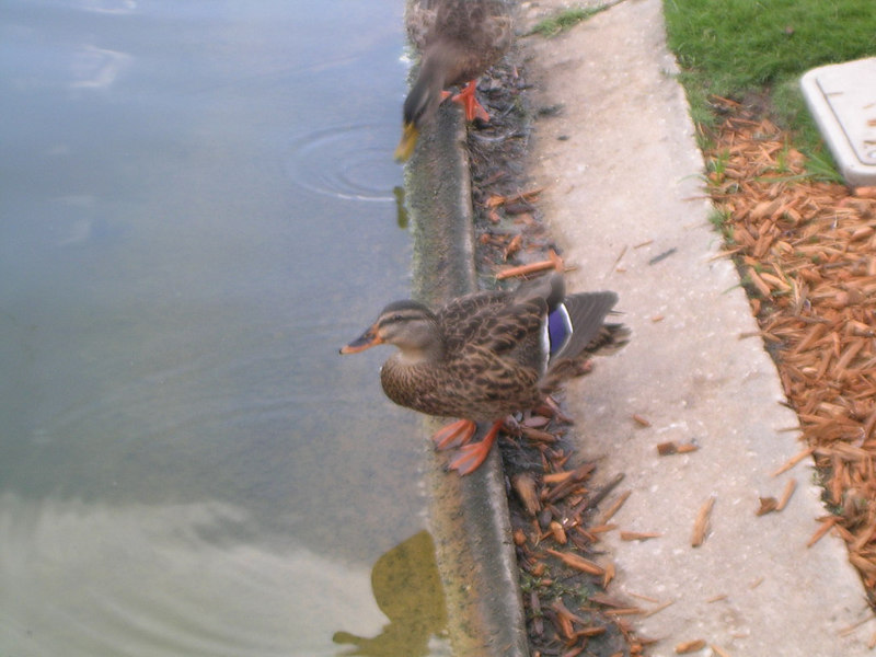 Here is Clyde, Duck's third cousin twice removed.