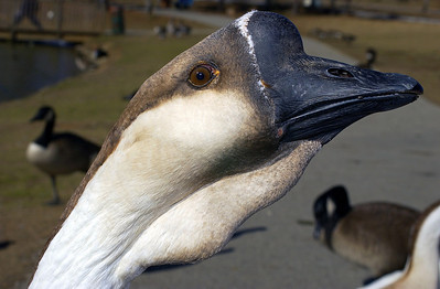 This Goose kept looking at himself in my lens like it was a mirror. I got several close-ups since he/she was so willing to pose.