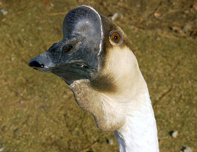 Another close-up of the same Goose that used my lens as a mirror, he/she kept just staring into the lens,literally.