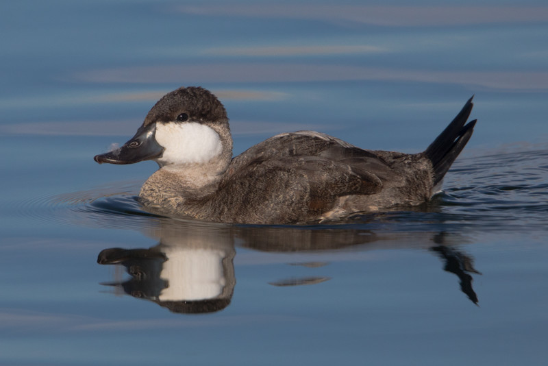 Rudy Duck Drake in non-breeding plumage