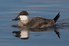 Rudy Duck Drake in non-breeding plumage