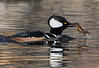 Hooded Merganser,drake feeding on crayfish.