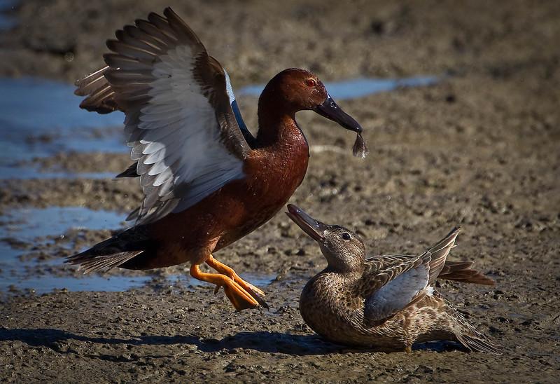 Cinnamon Teal Ducks