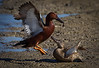 Cinnamon Teal Ducks