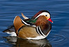 Mandarin Duck Drake,Colorado