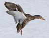 Landing Mallard Hen
