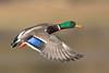Mallard Duck Drake