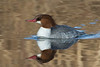Common Merganser ,female.