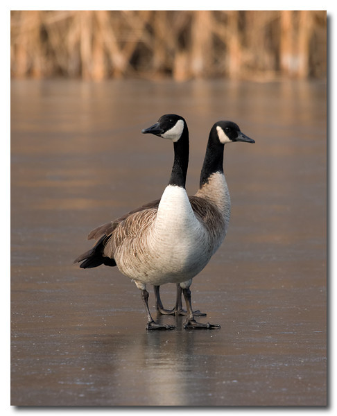 Two Headed Goose